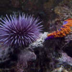 Purple urchin & spanish shawl; Photo by Jacek Smits.