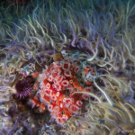 Strawberry anemones & brittle stars; Photo by Jacek Smits.