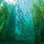 Kelp forest; Photo by Carl Gwinn.