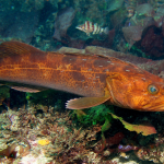 Lingcod; Photo by Stacey Janik.