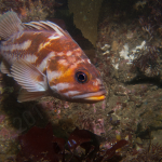 Copper rockfish; Photo by Tim Doherty.