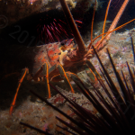 California spiny lobster; Photo by Tim Doherty.